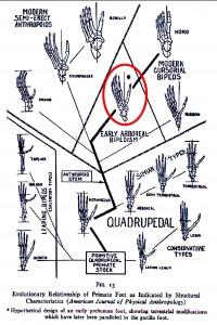 Diagram of evolutionary developments of primate foot